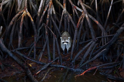 Day 30 - Racoon In The Mangroves