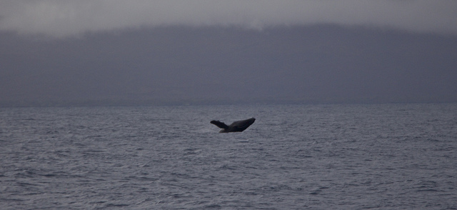 Day 53 - Breaching Humpback Whale