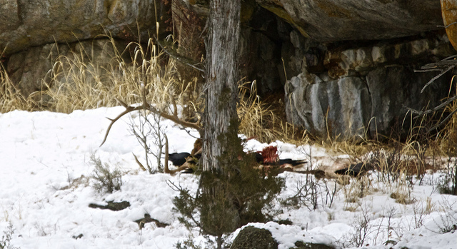 Elk Carcass and Ravens