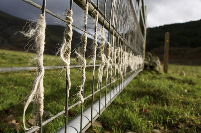 Sheep wool on a fence